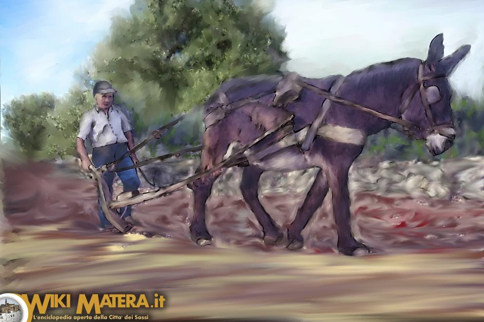 aratura_raccolta_lavorazione_pomodori_wikimatera_matera