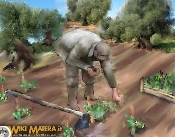 piantagione_raccolta_lavorazione_pomodori_wikimatera_matera