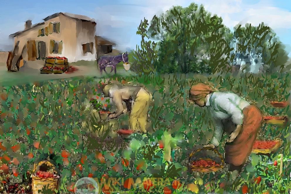 raccolta_raccolta_lavorazione_pomodori_wikimatera_matera